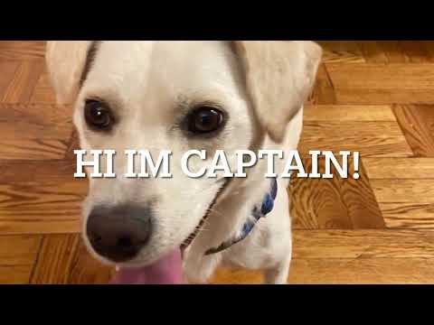 Captain, an adopted Jindo & Retriever Mix in Brooklyn, NY_image-1