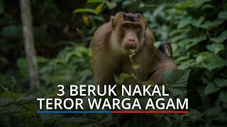 3 Beruk Nakal Teror Warga Agam, Manusia Dikejarnya, Tak Mempan Digertak Pakai Kayu