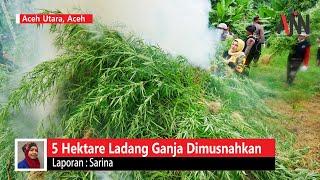 Lima Hektare Ladang Ganja Dimusnahkan di Aceh Utara