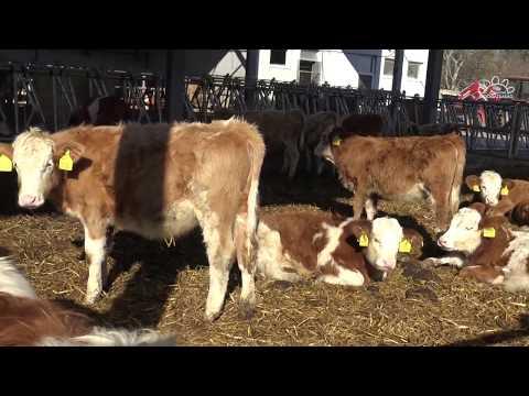 Féreghajtó gyógyszer szarvasmarhák számára. A cucurbita maxima féreghajtó aktivitása