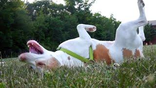 Happy Dog Rolls in Grass: Cute Dog Maymo