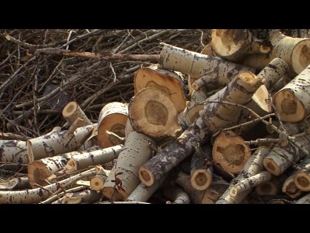 Кто в городе спиливает деревья?
