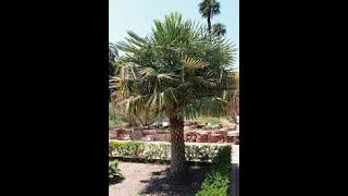 Copernicia Alba Palm Tree