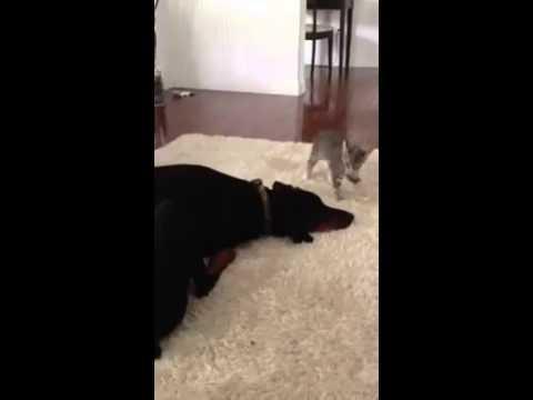 Anteprima Video Faccia a faccia con un grande avversario, ecco come il gattino vuole mostrare quanto sia dura. Pecca