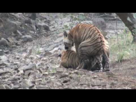 Tigers Mating in the Wild