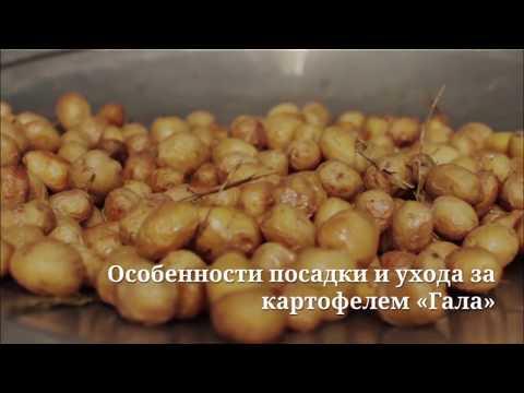 """Картофель """"Гала"""" - особенности посадки и ухода"""