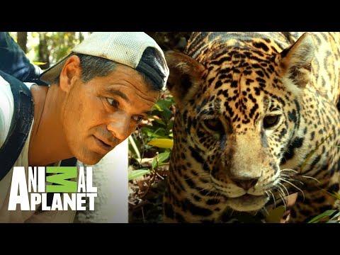 ¡Jaguar se acerca poco a poco a Frank! | Wild Frank en México | Animal Planet