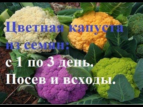 Цветная капуста из семян: Романеско и Лиловый шар. С 1 по 3 день. Посев и всходы.