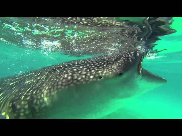 Oslob, Cebu - Snorkeling with Whalesharks