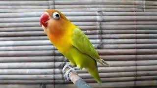 Suara Pancingan Perangsang Lovebird Ngekek Sekaligus Masteran Agar Rajin Ngekek