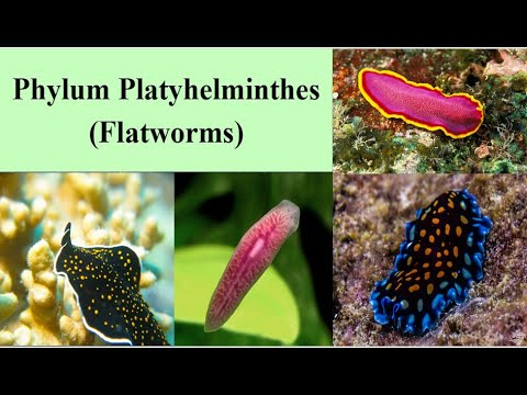 Acoelomates phylum platyhelminthes