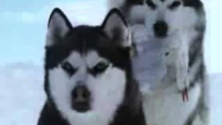 Красивый клип про волков.flv