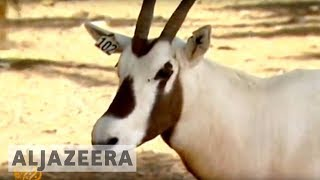 Oryx officially 'endangered' no more