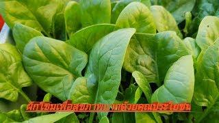 ผักโขม เพาะและปลูกง่ายๆ Grow baby Spinach