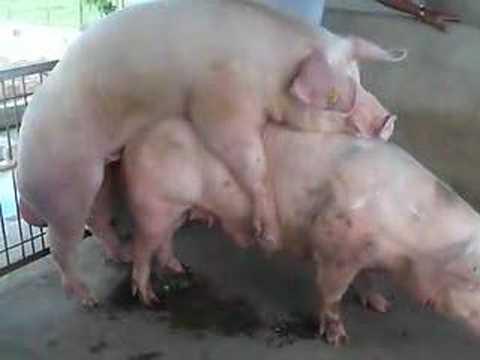 Schweineanalsex
