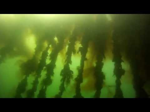 Scuba diving through a mussel culture