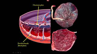 The Placenta and Umbilical Cord Ultrasound Video Lecture