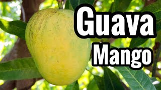 Our First Look At 'Guava' Mango!