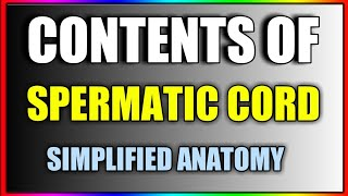 Contents Of Spermatic Cord