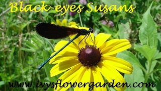 Black-eyed Susans, Starting from Seed part 1
