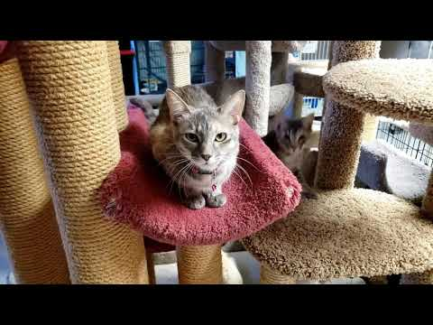 MATILDA (and Clemontine), an adopted Domestic Short Hair in Phoenix, AZ