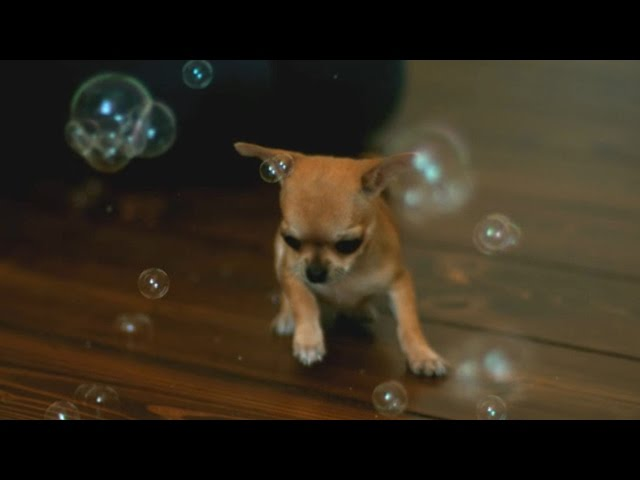 Chihuahua puppy and bubbles?