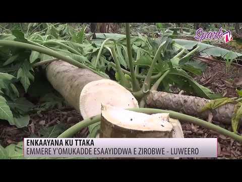 Emmere y'omukadde ow'emyaka 70 esaayiddwa