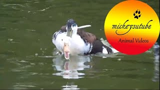 White duck gets 'attacked' by other ducks
