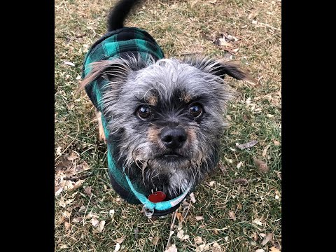 Scamp, an adopted Yorkshire Terrier & Shih Tzu Mix in Boulder, CO_image-1