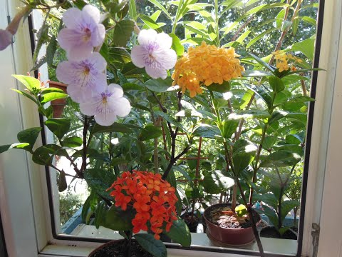 Иксора уход, содержание в комнатных условиях. Неугомонная цветунья - Иксора.