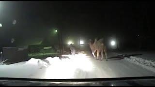 Операция по спасению верблюда на трассе «Братск – Усть-Илимск»