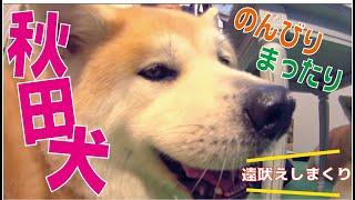 最大の日本犬秋田犬スペシャル!