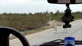 Олени на дороге!!!