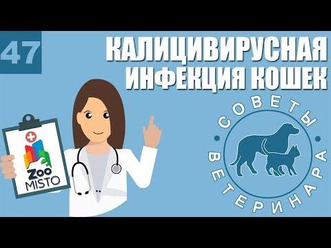 Калицивирусная инфекция у кошек | Способы передачи | Симптомы и лечение болезни | Советы Ветеринара
