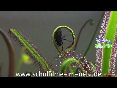 Fleischfressende Pflanzen - Schulfilm Biologie