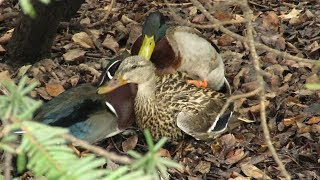 Filming the Feathers: A Wood Duck, Mallards and Forced Copulation