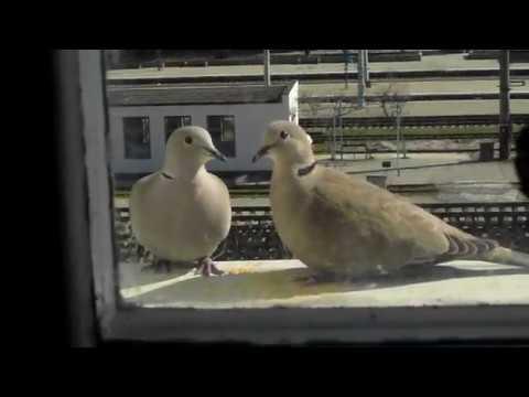 Парочка диких голубей залетела в гости)