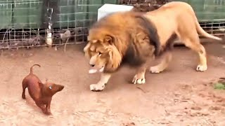 They Let a Dog in a Lion's Cage. What Happened Then Shocked Everyone