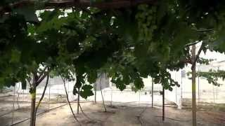 preview picture of video 'Anggur Malaysia ( Saloma Vineyard & Nursery )'