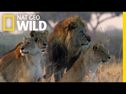 Games of Thrones lovers might recognise the voice of the narrator in Nat Geo Wild's Savage Kingdom which is launching today. Filmed in the Savute area of Botswana's Chobe Desert, it is heart-stoppingly raw and wild and, well, savage. As Nat Geo Wild put it so aplty: Savute can be generous. Savute can be cruel. Savute is unpredictable. Savute is three thousand square miles of remote African Savannah - and this ancient land is governed by competing clans of ruthlessly proficient predators: Lions, Leopards, Hyenas and Wild Dogs. This season in Savute, who will survive? If this kind of drama excites you, you might be tempted to book at Belmond Savute Elephant Lodge package offering you 25% off bookings in 2017, so you can see it with your own eyes. #savagekingdom