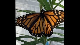 Monarch Butterflies in a Future Environment
