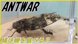 蟻戦争#153アリはセミを食べる?編~Doanteatacicada?~