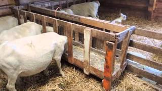 2 Minutes In The Sheep Barn