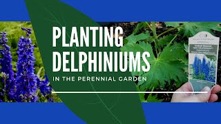 Planting Delphiniums: Adding Tall Blue Delphiniums (Larkspur) To The Garden | Home For The Harvest