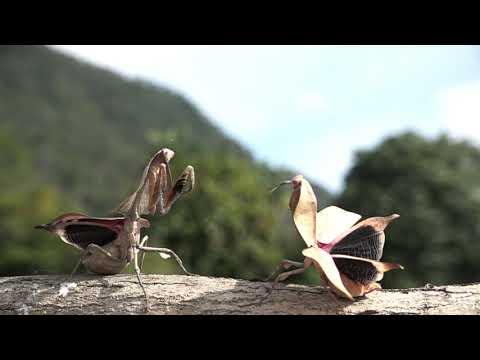 マルムネカレハカマキリの喧嘩 Deroplatys lobata fight