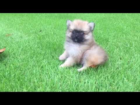 Jazz is now ready to become your own beautiful, sweet toy Pomeranian