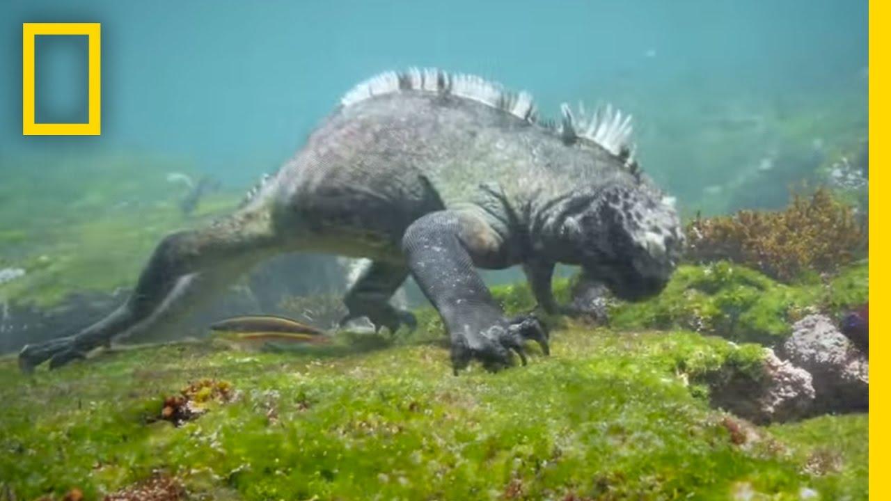 Swim Alongside a Galápagos Marine Iguana   National Geographic thumbnail