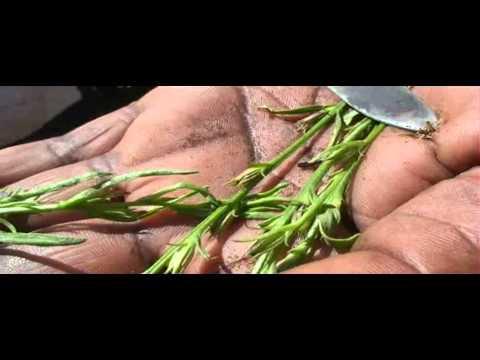Ascaris bika szalagféreg