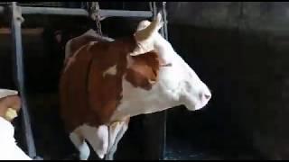 Schaffen wir es Kuh (222) endlich von der Kette zu holen? ❤️