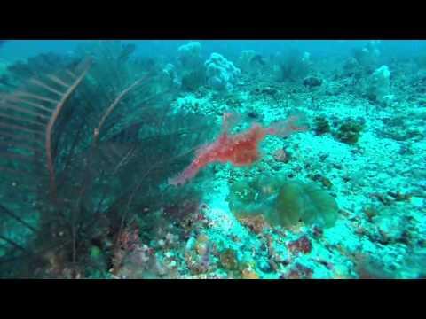 Geisterfetzenfisch, Cocktail Divers Sabang Beach Mindoro,Philippinen